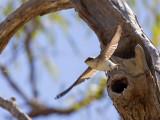 Tree Martin - Australische Boomzwaluw - Hirondelle des arbres