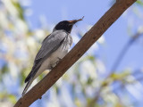 Black-faced Cuckooshrike - Zwartmaskerrupsvogel - Échenilleur de la Sonde