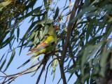 Regent Parrot - Regentparkiet - Perruche mélanure (m)