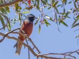 White-browed Woodswallow - Wenkbrauwspitsvogel - Langrayen bridé