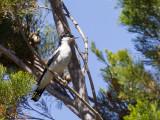 White-winged Triller - Witvleugeltriller - Échenilleur de Lesueur (m)