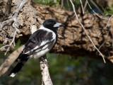 Pied Butcherbird - Zwartkeelorgelvogel - Cassican à gorge noire