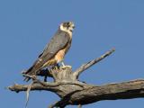 Australian Hobby - Australische Boomvalk - Petit Faucon