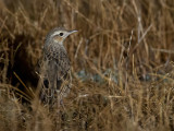 Brown Songlark - Roetbruine Grasvogel - Mégalure brune (f)