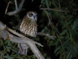 Australian Boobook - Australische Boeboekuil - Ninoxe d'Australie