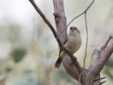 Buff-rumped Thornbill - Vaalstuitdoornsnavel - Acanthize à croupion beige