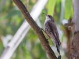 White-throated Treecreeper - Witkeelkruiper - Échelet leucophée (m)