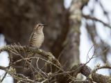 Horsfield's Bronze Cuckoo - Horsfields Bronskoekoek - Coucou de Horsfield