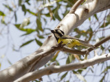 Crested Shriketit - Harlekijndikkop - Falconelle à casque