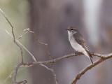 Jacky Winter - Witstaartvliegenvanger - Miro enchanteur
