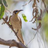 Little Friarbird - Kleine Lederkop - Polochion à menton jaune