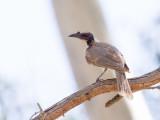 Noisy Friarbird - Schreeuwlederkop - Polochion criard