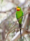 Superb Parrot - Barrabandparkiet - Perruche de Barraband (m)
