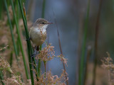 Australian Reed Warbler - Australische Karekiet - Rousserolle d'Australie