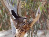Grey-crowned Babbler - Grijskruinbabbelaar - Pomatostome à calotte grise