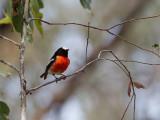 Scarlet Robin - Scharlaken Vliegenvanger - Miro boodang (m)