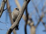 Dusky Woodswallow - Blauwvleugelspitsvogel - Langrayen sordide