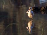 Yellow-billed Spoonbill - Geelsnavellepelaar - Spatule à bec jaune
