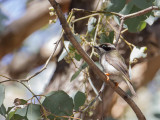 Black-chinned Honeyeater - Zwartkin-honingeter - Méliphage à menton noir