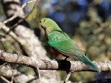 Australian King Parrot - Australische Koningsparkiet - Perruche royale (f)