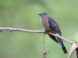 Fan-tailed Cuckoo - Waaierstaartkoekoek - Coucou à éventail