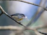 Spotted Pardalote - Gevlekte Diamantvogel - Pardalote pointillé