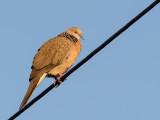 Spotted Dove - Parelhalstortel - Tourterelle tigrine