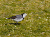 White-fronted Chat - Maskerschijnpaapje - Epthianure à front blanc