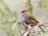 Red-browed Finch - Doornastrild - Diamant à cinq couleurs