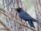 Little Raven - Kleine Raaf - Petit Corbeau