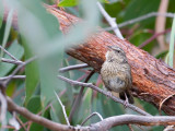 Chestnut-rumped Heathwren - Vuurstuitheidesluiper - Séricorne à croupion roux
