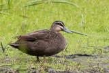 Pacific Black Duck - Wenkbrauweend - Canard à sourcils