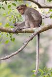 Bonnet macaque