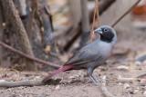 Birds of Burkina Faso 2018