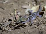 Stumpff's ground gecko