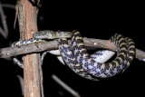 A Madagascar tree snake
