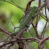 Oustalet's chameleon (f)
