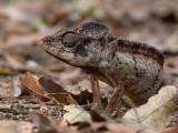 Oustalet's chameleon (m)