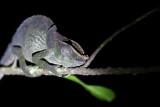 Unidentified chameleon