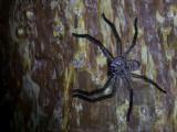 Madagascar huntsman spider