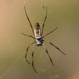 Golden orb-web spider