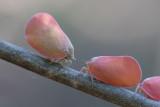 Flatid leaf bug