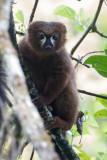Red-bellied lemur (m)