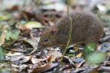 Eastern red forest rat