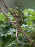 Belted chameleon (m)