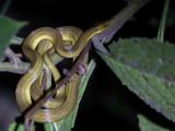 Ranomafana big-headed snake