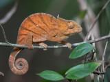 Parson's chameleon (j)
