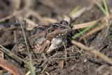 Mascarene ridged frog