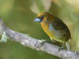 Prong-billed Barbet - Tandsnavelbaardvogel - Cabézon de Frantzius