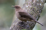 Clay-colored Thrush - Grays Lijster - Merle fauve